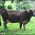 Jersey cow in Monteverde Costa Rica
